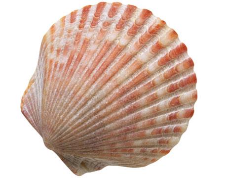 sea shell fermibot sea shells clip art free seashell clipart freeware black and white